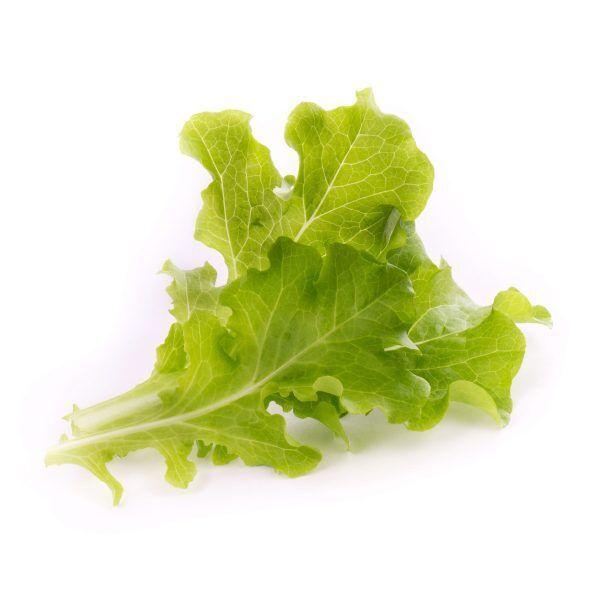 oakleaf lettuce laitue feuille de chene scaled Марка: VERITABLE <br />Модел: VLIN-L5-Lai019<br />Доставка: 2-4 работни дни<br />Гаранция: 2 години
