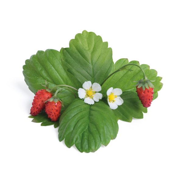 red wild strawberry fraise des bois rouge 1 1 scaled Марка: VERITABLE <br />Модел: KIT-FRALING-FR-39<br />Доставка: 2-4 работни дни<br />Гаранция: 2 години