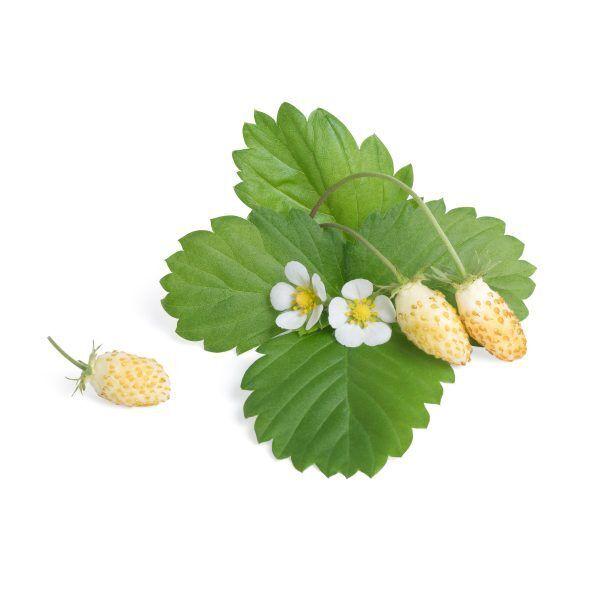 white wild strawberry fraise des bois blanche scaled Марка: VERITABLE <br />Модел: VLIN-P5-Fra039<br />Доставка: 2-4 работни дни<br />Гаранция: 2 години